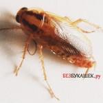 Тараканы в квартире и их особенности проживания в ней