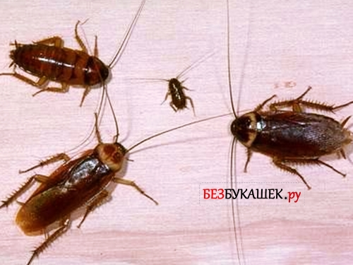 Крылатые тараканы: виды летающих прусаков