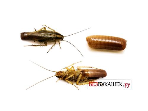 Как выглядят новорожденные тараканы