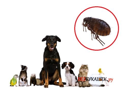 Блоха и домашние животные