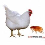 Избавляемся от блох на курице и ее жилище