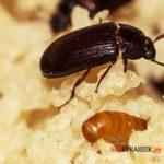 Целебные свойства жука-знахаря