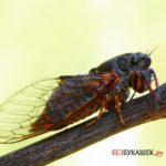 О цикадах и их развитии