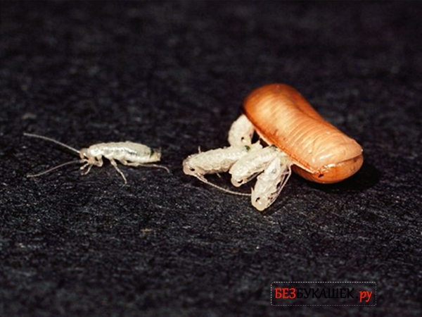 Как тараканы размножаются: сколько тараканов вылупляется из одного яйца