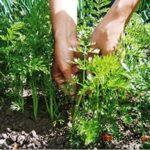 Избавляемся от вредителей моркови