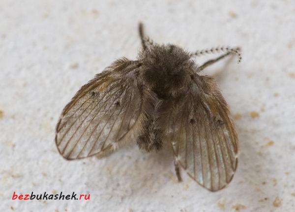 Мушка-бабочница
