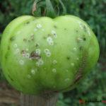 Основные методы борьбы с вредителями на помидорах. Как избавиться от зеленых гусениц?