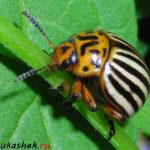 Эффективные средства борьбы с колорадским жуком на участке