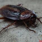 Как навсегда избавиться от черных тараканов в доме
