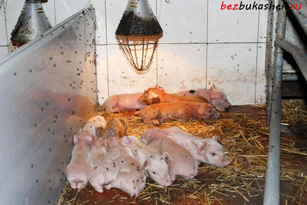 Мухи в свинарнике