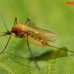 Комары в доме: чего они боятся и как спастись от них с помощью народных средств