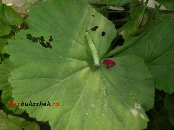 Зеленая гусеница на герани