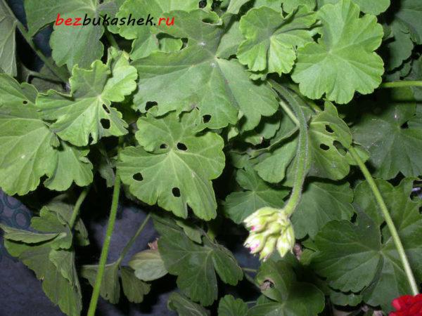 Пораженные листья герани