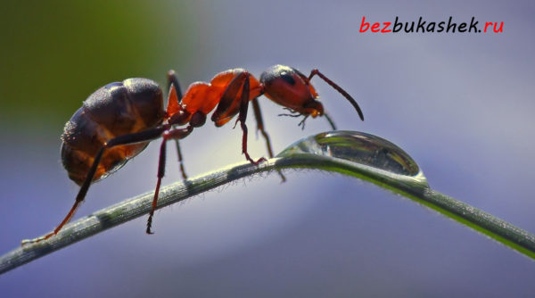 Лесной муравей