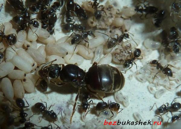 Муравьиная матка садовых черных муравьев