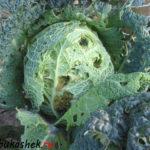 Как защитить капусту от вредителей?