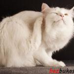 Как уничтожить блох на кошках — обзор ошейника от блох Форесто