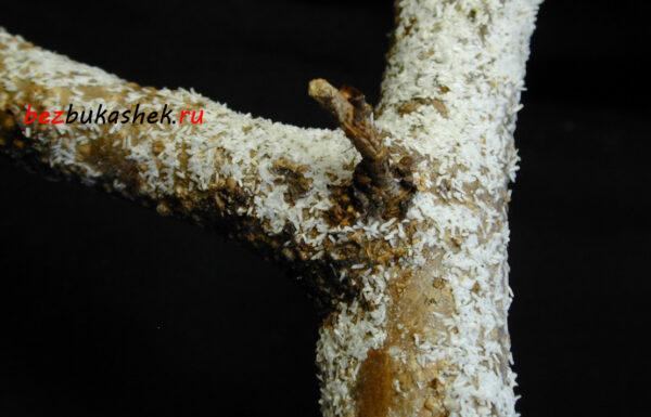 Тутовая щитовка на дереве