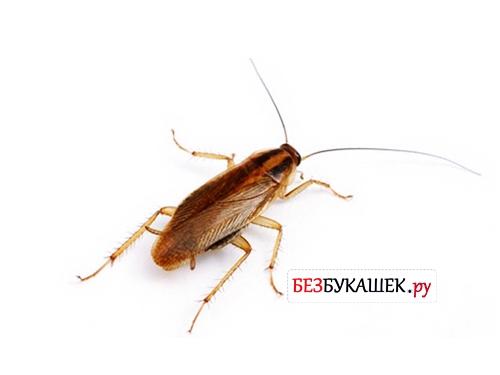 Вот так выглядит рыжий таракан