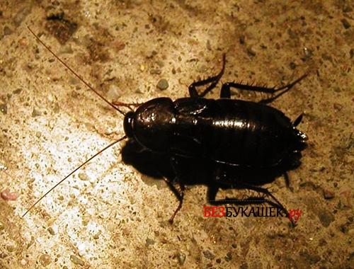 Вот так выглядит черный таракан
