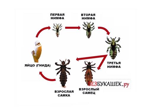 Вот так происходит цикл развития вшей