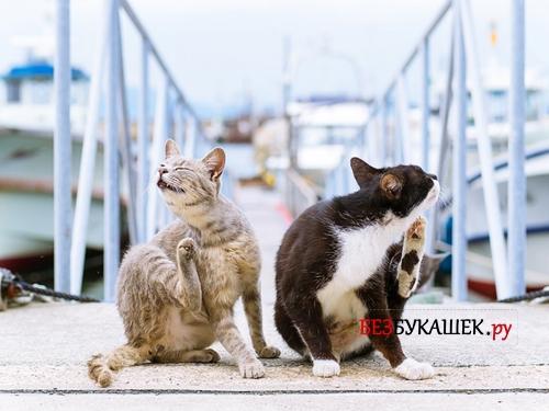 Два кота чешутся от блох