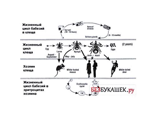 Жизненный цикл иксодового клеща