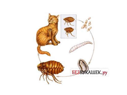 Жизненный цикл кошачьих блох