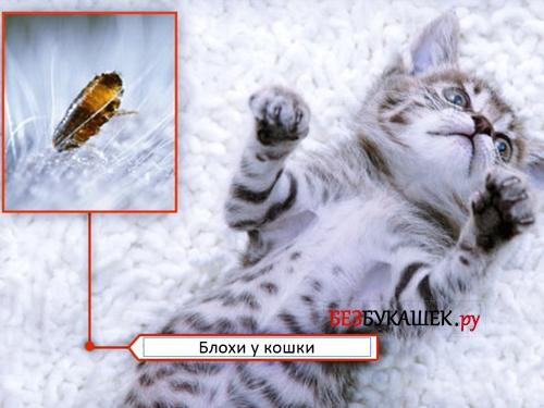 Наличие блох у котенка