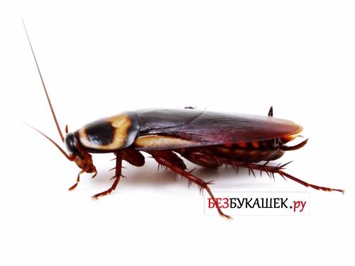 Вот так выглядят таракан