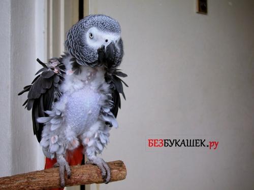 Попугай без перьев (частично)