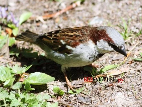 Птица (Воробей)