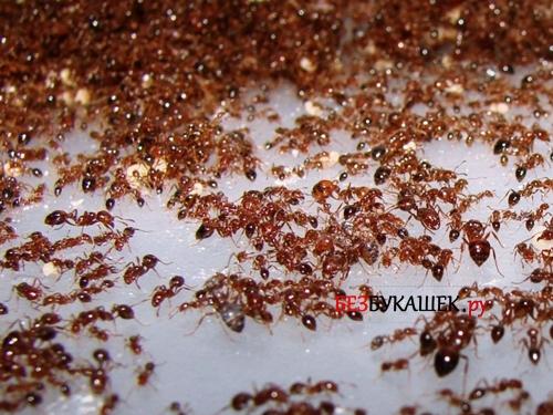 Стая красных муравьев