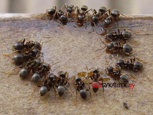 Стая черных муравьев