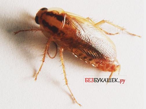 Таракан рыжего цвета