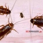 Разновидности  тараканов обитающих в квартирах