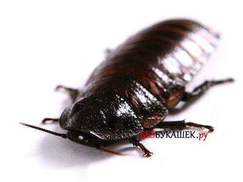 Внешний вид канализационного таракана