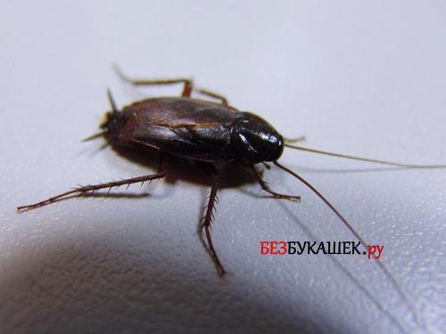 Внешний вид черного таракана
