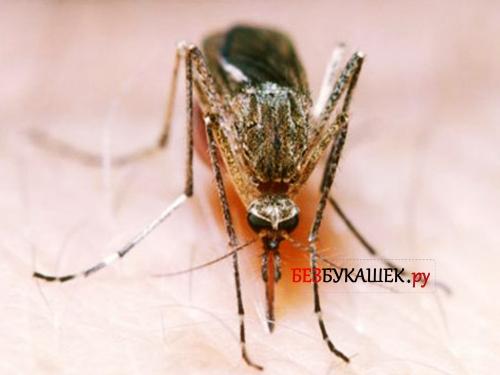 Комар вблизи