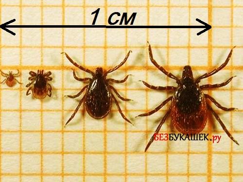 Размеры клещей на фоне миллиметровой бумаги