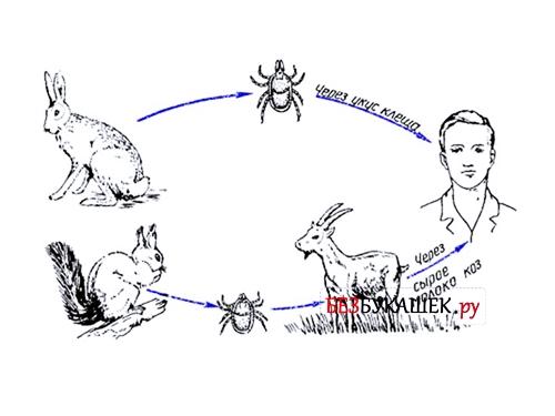 Схема передачи энцефалита клещом