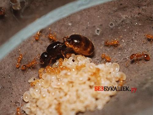 Вот так выглядит муравьиная матка у домашних муравьев