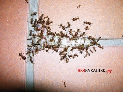 Гнездо муравьев в квартире