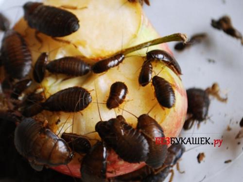 Канализационные тараканы поедают яблоко