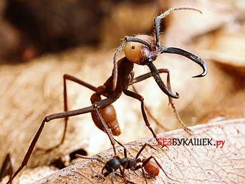 Кочевый муравей Сиафу