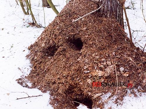 Муравейник в лесу зимой