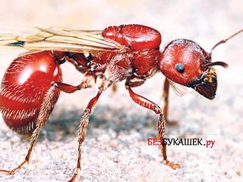 Муравей Red Harvester
