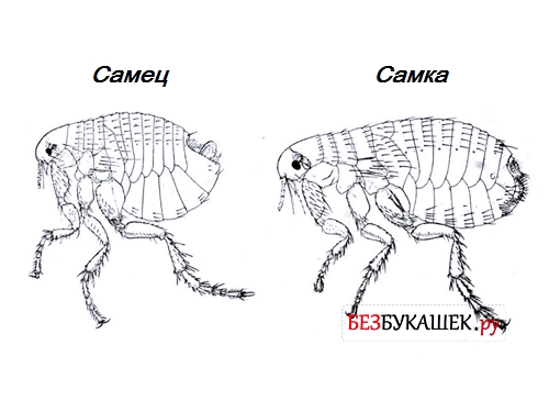 Самец и самка земляной блохи в сравнении