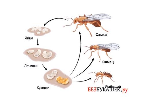Цикл жизни муравьев
