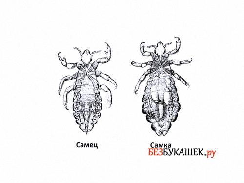 Внешние отличия самца и самки головной вши